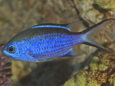 Blue chromis in Sosua reef