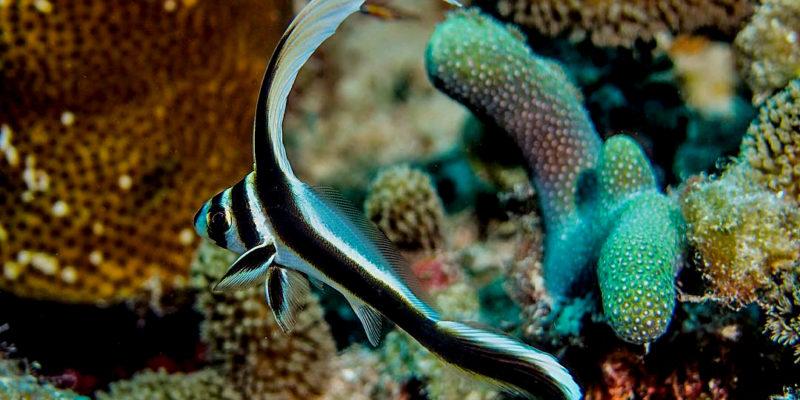 Drumfish in Sosua Beach reef