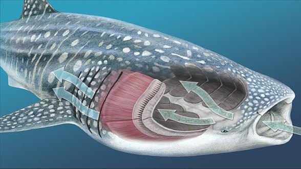 filterfeeding system of whale shark