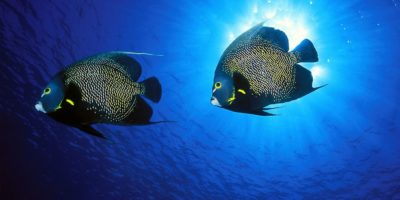 French angel fish in Sosua Bay