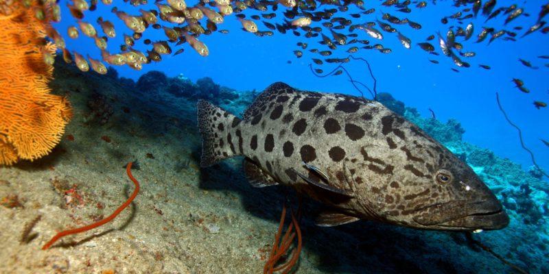 Goliath Grouper underwater at Sosua