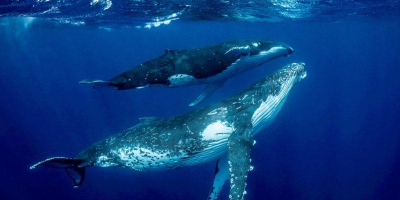 humpback whales visiting Sosua