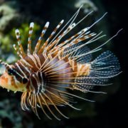 Lion fish caught off the coast of Sosua Bay