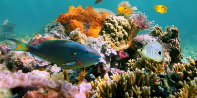parrot fish in Sosua Beach reef