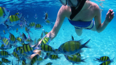 sergeant major fish fed by a snorkeler in Sosua