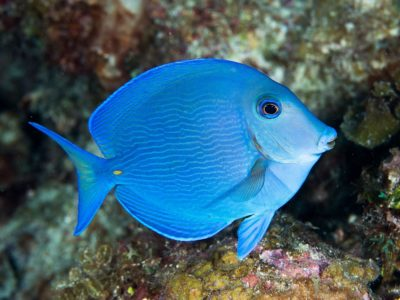 Sosua blue tang