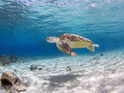 turtle in Sosua Beach