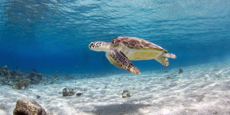 turtle in Sosua Beach