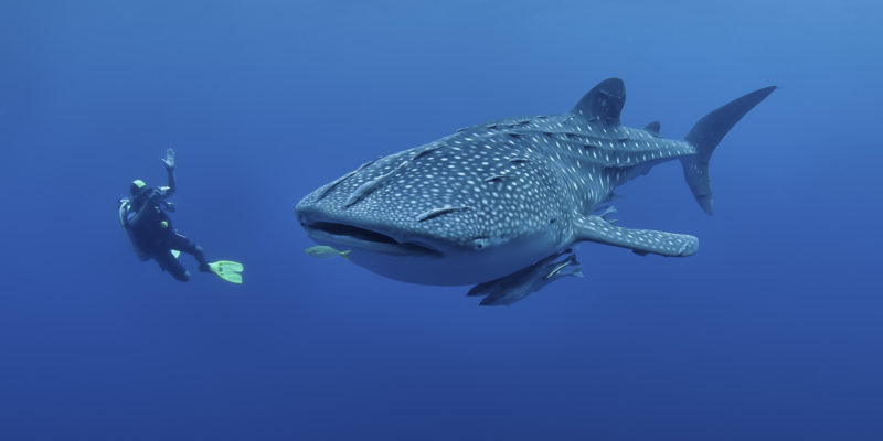 Whale shark off sosua beach waters