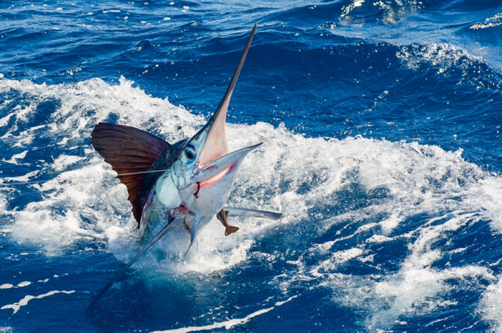 white marlin fishing sosua