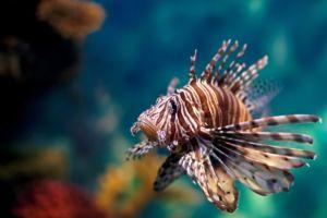 The Lion fish has venomous fin spines