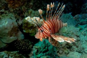 There are three main species of Lionfish