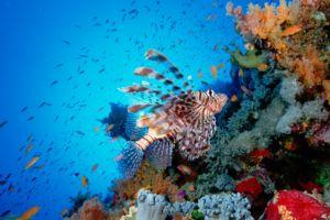 Pterois volitans is the common Lionfish