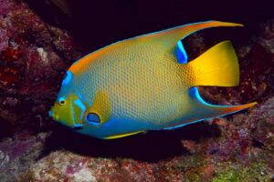 Adult in a reef