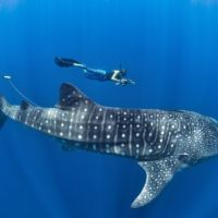 swimming with whale sharks in the Caribbean