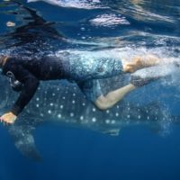 Swimmer getting close to whale shark