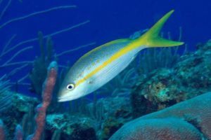 This fish is a favorite for salt water aquariums