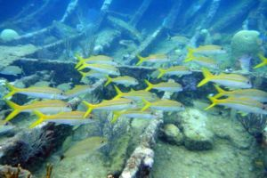 Yellow tail snapper in the reef
