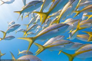 Sosua reefs have abundant yellow tail