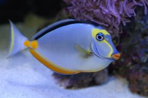 Blue tang in aquarium