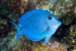 Vibrant blue tang