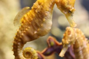 Yellow seahorse with juvenile