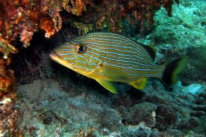 Solitary French Grunt in Sosua reef