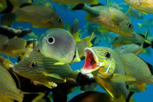 Grunt and Butterfly fish