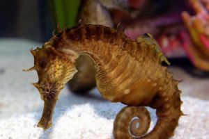 Brown lined seahorse
