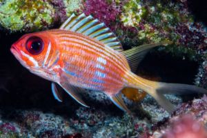 Squirrelfish in the reef