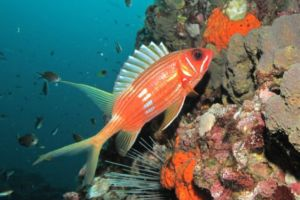 A solitary Squirrelfish